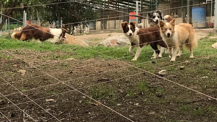 cachorros del criadero de border collie