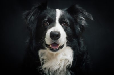 border-collie-987947_1920