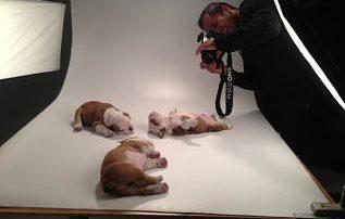 Fotos Bulldog Inglés campaña publicitaria